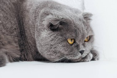 close up of adorable scottish fold cat on white background