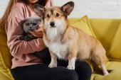 oříznutý pohled ženy na pohovce s welsh corgi pembroke pes a roztomilý skotské klapouché kočky