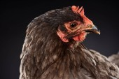 close up of purebred brown hen isolated on black