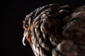 Fotografie selective focus of brown hen isolated on black