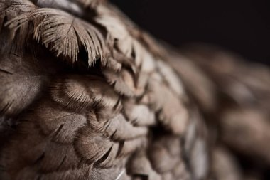 close up texture of brown chicken feathers isolated on black