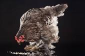 Fotografie brown chicken eating millet grain on black