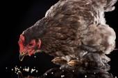 purebred brown hen eating millet on black