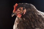 Fotografie close up of cute brown chicken isolated on black