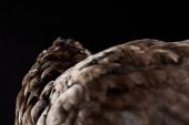 Fotografie texture of brown chicken feathers isolated on black, selective focus