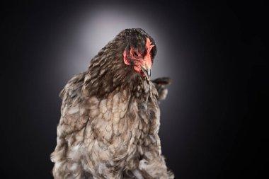 close up of brown farm chicken on dark grey