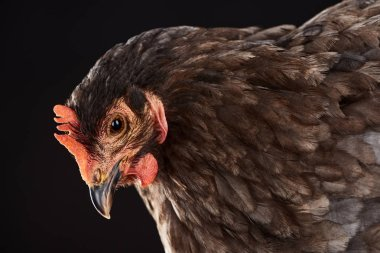close up of brown hen isolated on black