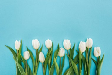 Top view of white tulip flowers isolated on blue background stock vector