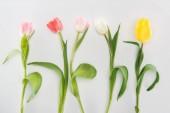 Fotografie pohled shora zadávací tulipánu květin izolované Grey