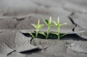 selektiver Fokus junger Grünpflanzen auf getrocknetem rissigen Boden, Konzept der globalen Erwärmung