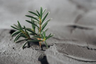 selective focus of young green plants on dried cracked soil surface, global warming concept