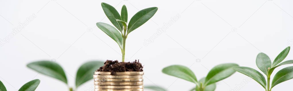 panoramic shot of golden coins with leaves and soil Isolated On White, financial growth concept