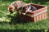 cute fluffy welsh corgi puppies getting out from wicker box on green grassy lawn