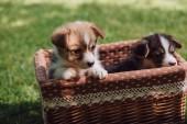 rozkošná Chlupaté sváše hovínek, štěňata v krabici na zelené travnaté trávníky