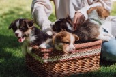 partial view of girl sitting in green garden with welsh corgi adorable puppies in wicker box