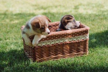 cute welsh corgi puppies in wicker box on green grassy lawn