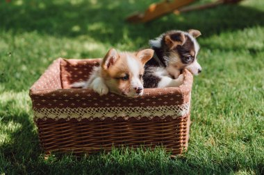 cute fluffy welsh corgi puppies in wicker box on green grassy lawn at sunny day