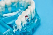 selective focus of teeth model with red dental root isolated on blue