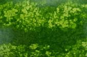 Nahaufnahme der grünen Schale der Wassermelone