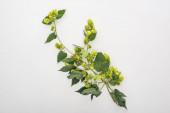 Draufsicht auf grün blühenden Hopfen auf weißem Hintergrund