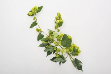 Top view of green blooming hop on white background stock vector