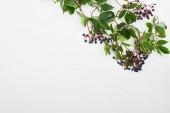 top view of wild grapes branch with green leaves and berries isolated on white with copy space
