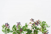 felső nézet a vad szőlő ág zöld levelek és bogyók elszigetelt fehér másolási hely