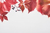 top view of wild grapes branch with red leaves and berries isolated on white with copy space