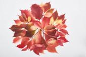 felső nézet színes vörös levelek vad szőlő elszigetelt fehér