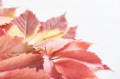 close up view of colorful red leaves of wild grapes isolated on white