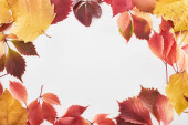 frame of colorful red and yellow leaves of alder, maple and wild grapes isolated on white with copy space