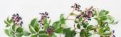 panorámás lövés vad szőlő ág zöld levelek és bogyók elszigetelt fehér