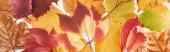 panorámás lövés színes őszi levelek vadszőlő, éger és juhar elszigetelt fehér