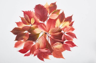 Top view of colorful red leaves of wild grapes isolated on white stock vector