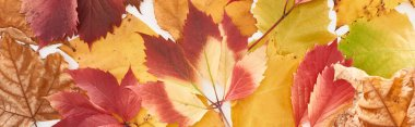 panoramic shot of colorful autumn leaves of wild grapes, alder and maple isolated on white