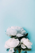 top view of white peonies on blue background