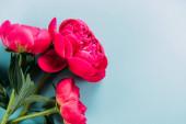felső nézet színes rózsaszín bazsarózsa kék háttér