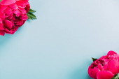 Photo top view of colorful pink peonies on blue background