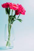 Fényképek csokor rózsaszín bazsarózsa üveg váza kék alapon