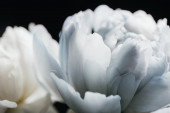close up view of blue and white peony isolated on black