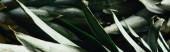 Nahaufnahme der grünen Ananasblätter, Panoramaaufnahme