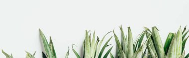 Top view of green pineapple leaves on white background, panoramic shot stock vector