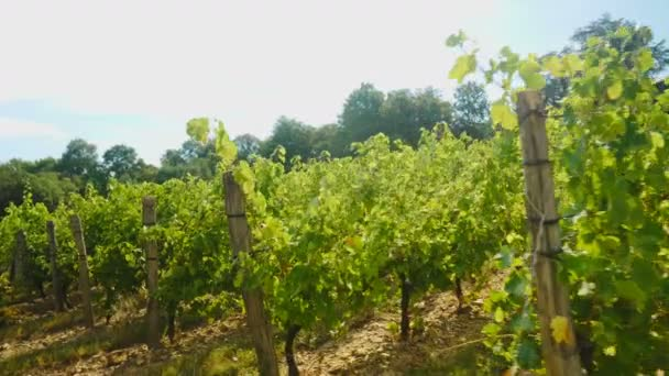Shot between rows of vines on a vineyard in France. UHD footage for your design