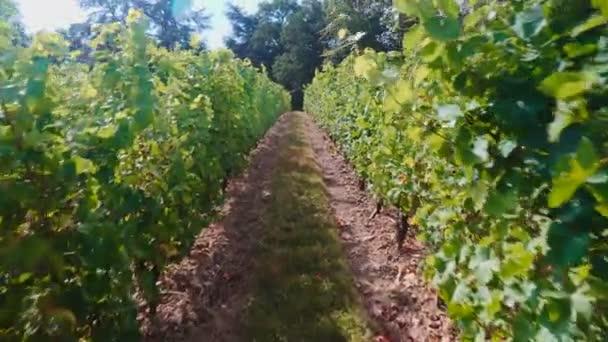 Lövés egy szőlőültetvényen Franciaországban szőlő sorok között