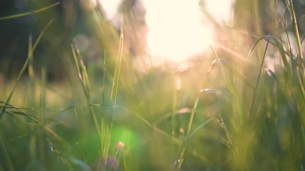 Krásná zelená tráva v lese při západu slunce