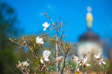 Wonderful magnolia flowers, Trinity Monastery of St. Jonas, M. Hryshko National Botanical Garden, Kyiv (Ukraine)