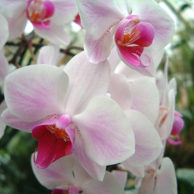 Phalenopsis white and pink flower close up