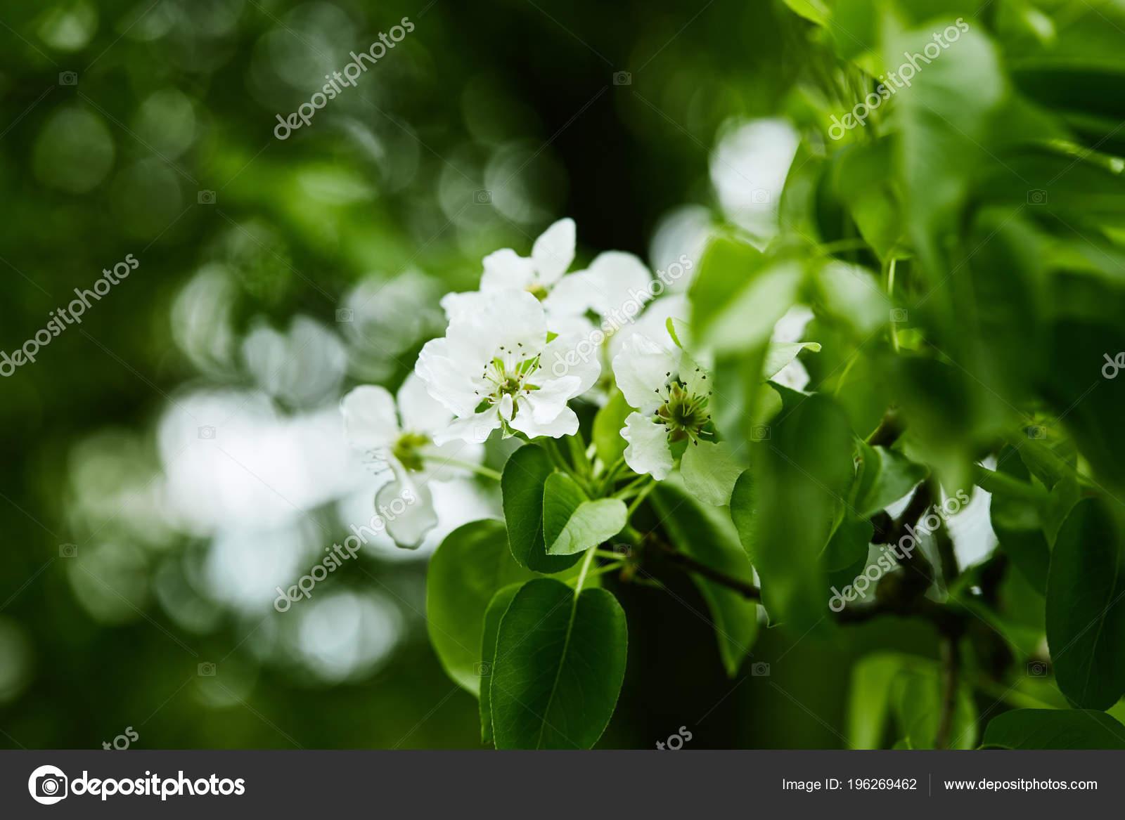Close Shot Aromatic White Cherry Flowers Tree Stock Photo