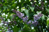 close-up shot of beautiful lilac blossom on tree outdoors