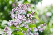 Fotografie Detailní záběr krásné fialovými květy na stromě venku